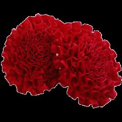 Carnation Lapels